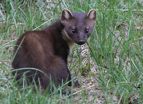 Pine Marten (Martes martes) Other pictures below. | by Sandra Standbridge.