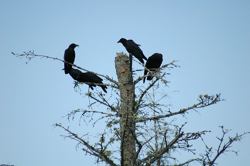Crows | by Great Glen Trails