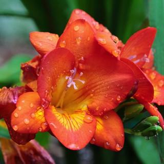 Pretty Orange Flowers Some Pretty Orange Flowers Photograp Flickr