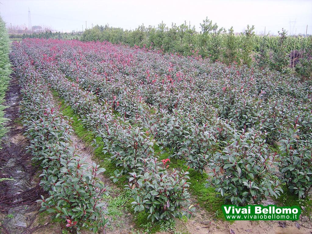 Photinia Cespuglio In Piena Terra Vivai Bellomo Produzio Flickr