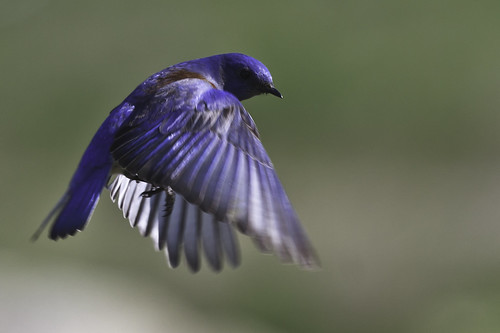Western Bluebird in Flight | by Bob Gunderson