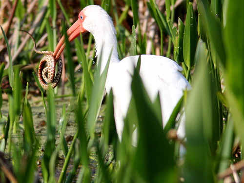 White Ibis with snake 20110220 | by Kenneth Cole Schneider