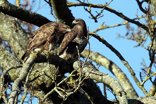 Pair of Buzzards | by Ady G.