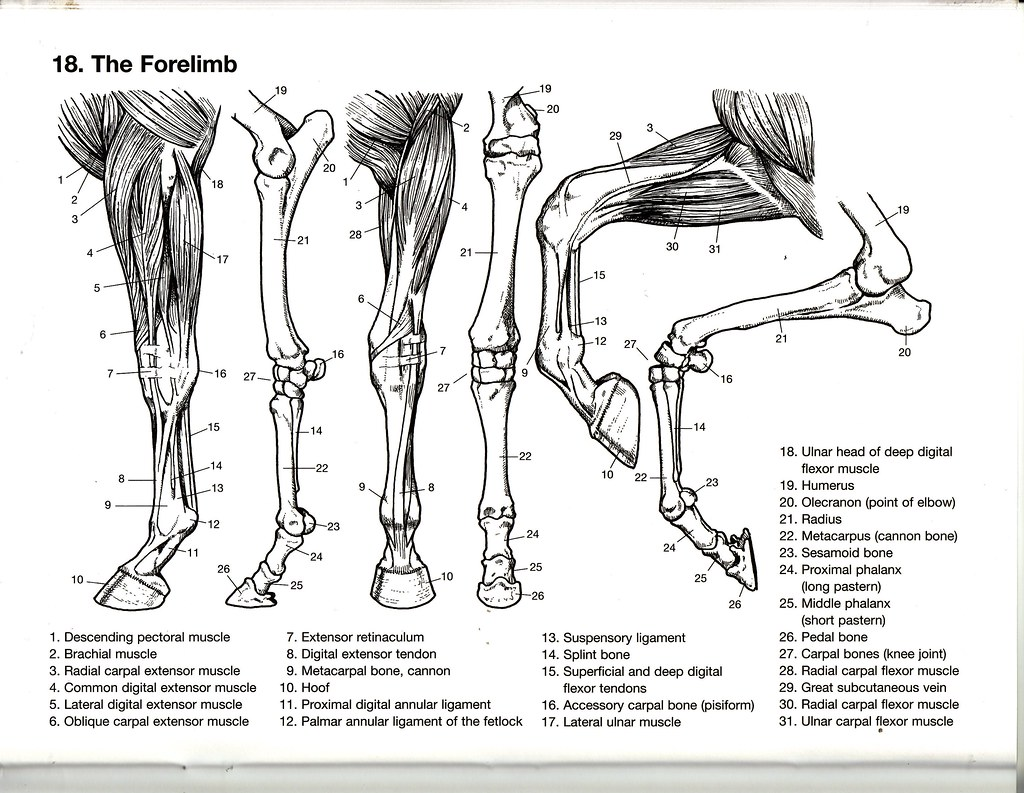 The Forelimb From The Dover Coloring Book Of Horse Anatomy Flickr