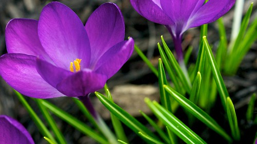 Spring Crocus 1 | by herb.g
