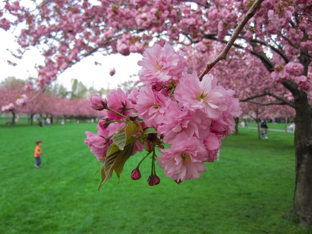 Prunus kanzan prunus kanzan in bloom on cherry esplanade flickr prunus kanzan by brooklyn botanic garden izmirmasajfo