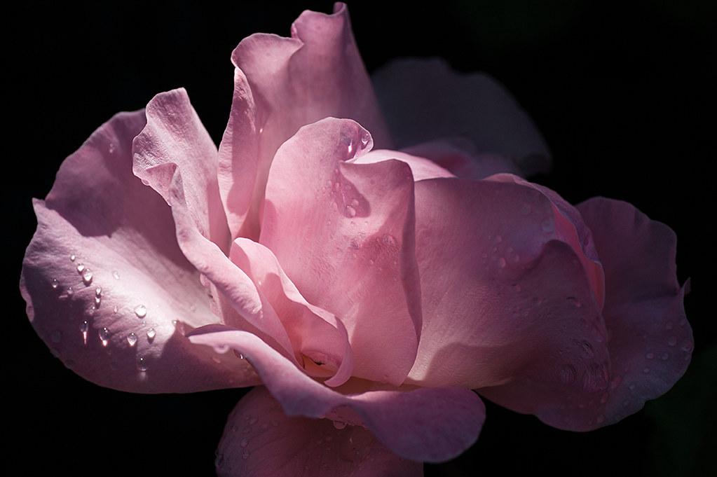 Rosa de luces y sombras