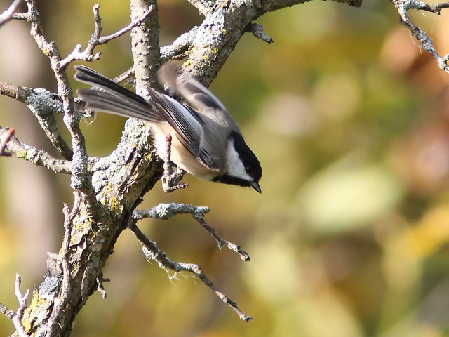 Black-capped Chickadee 20161007