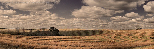 Swaths laid down | by McCormick Photography