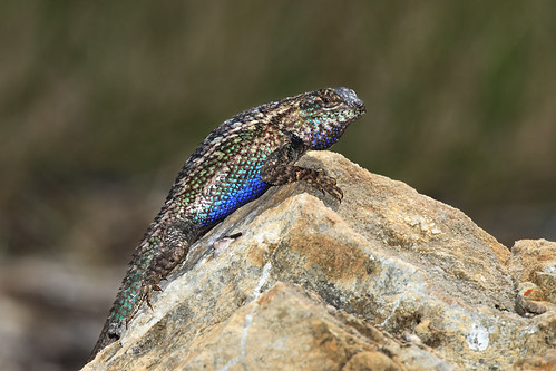 Coast Range Fence Lizard In Breeding Colors 1 Of 2 In S