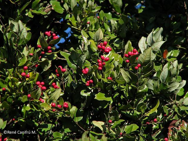 Cryptocarya alba, fruto