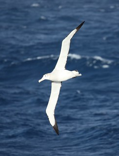 Wandering Albatross flying over the South Atlantic | by Liam Quinn
