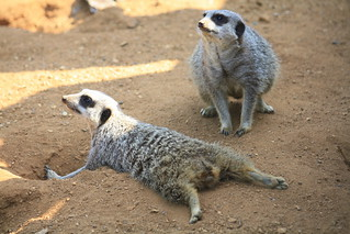 Meerkats | by simononly