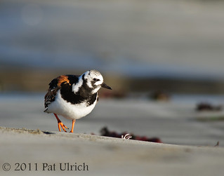 Ruddy turnstone | by Pat Ulrich