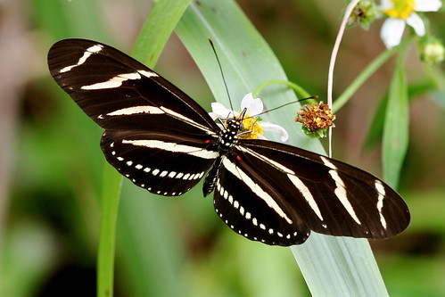 Heliconius charithonia | by LE Reeves