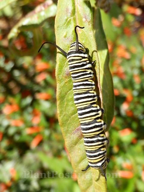 monarch cat 2