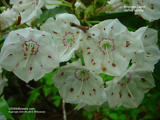 Mountain Laurel - Kalmia latifolia | by USWildflowers
