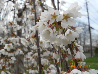 Cherry Willow Tree In Bloom | by <3 Cassandra Mae <3