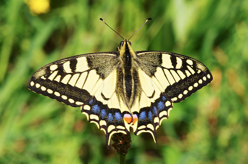 Papilio machaon (Linnaeus, 1758) - Papilionidae | by X-Files1