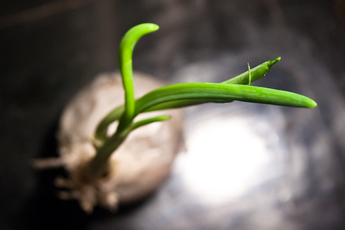 Sprouting Onion Plant Macro June 07, 20116 | by stevendepolo