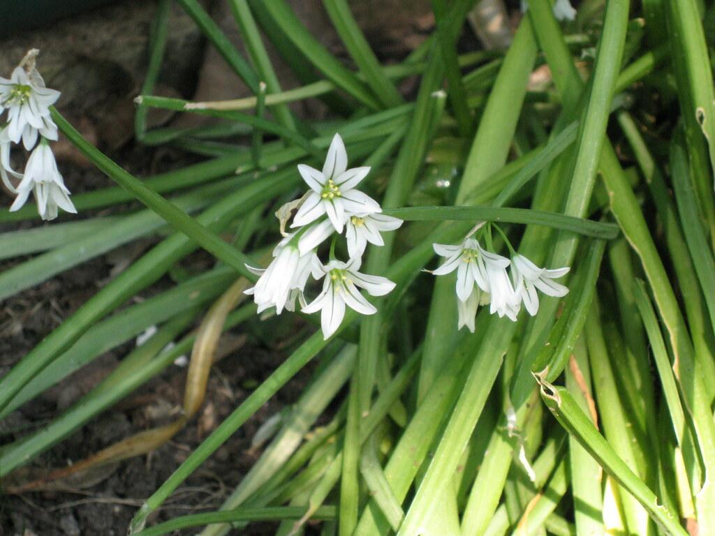 White bulb flowers lucyfrancis flickr white bulb flowers by lucyfrancis white bulb flowers by lucyfrancis mightylinksfo