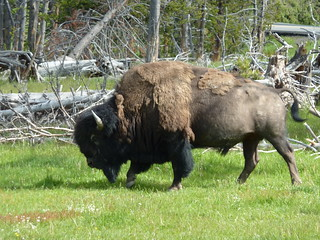 Yellowstone Bison | by gabri_micha