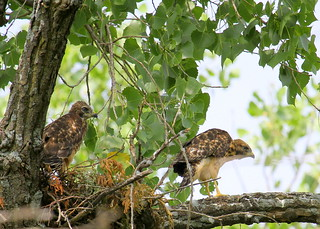 Young Red-shouldered Hawks | by Lindell Dillon