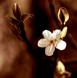 Apple Blossoms in copper | by sabine0301