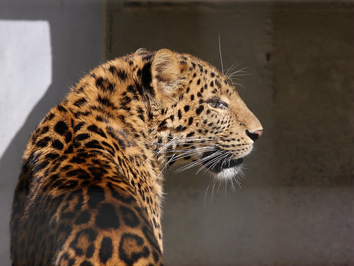 China-Leopard (Zoo Karlsruhe) | by Cameron_hf