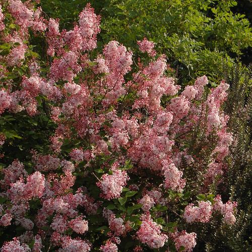 syringa pubescens subsp microphylla superba luca flickr. Black Bedroom Furniture Sets. Home Design Ideas