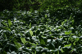 Bear Garlic | by jbgranick