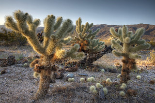 Cholla Cactus | by Laura A. Lee