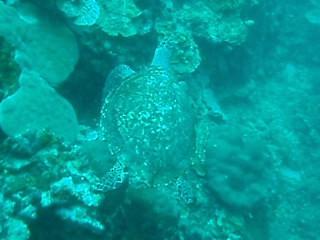 P5030130. Tortuga nadando en Bunaken Marine Park