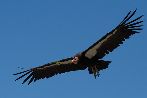 California Condor | by Tom Clifton