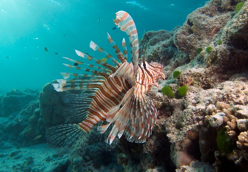 Lion Fish under the jetty | by Tourism Queensland