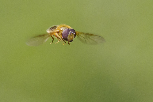 Hoverfly flying in flight | by Roland Bogush