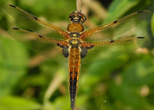 Four-spotted Chaser (Libellula quadrimaculata) Male | by Rezamink