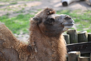 Bactrian Camel at Lincoln Park Zoo_6285 | by bk bob