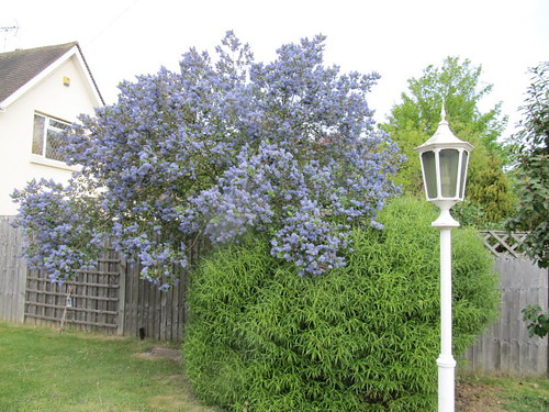 ceanothus 39 trewithen blue 39 next to a large hebe flickr. Black Bedroom Furniture Sets. Home Design Ideas