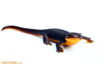 Rough-skinned newt | by neil.fisher