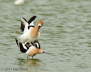 American avocets mating | by Pat Ulrich