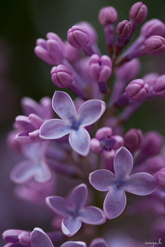 Lovely Lilacs | by Angela Hoss