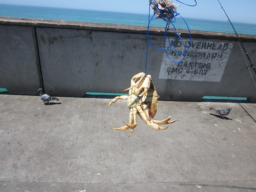 Fishing for crab at pacifica pier pacifica ca must be for Pacifica pier fishing report