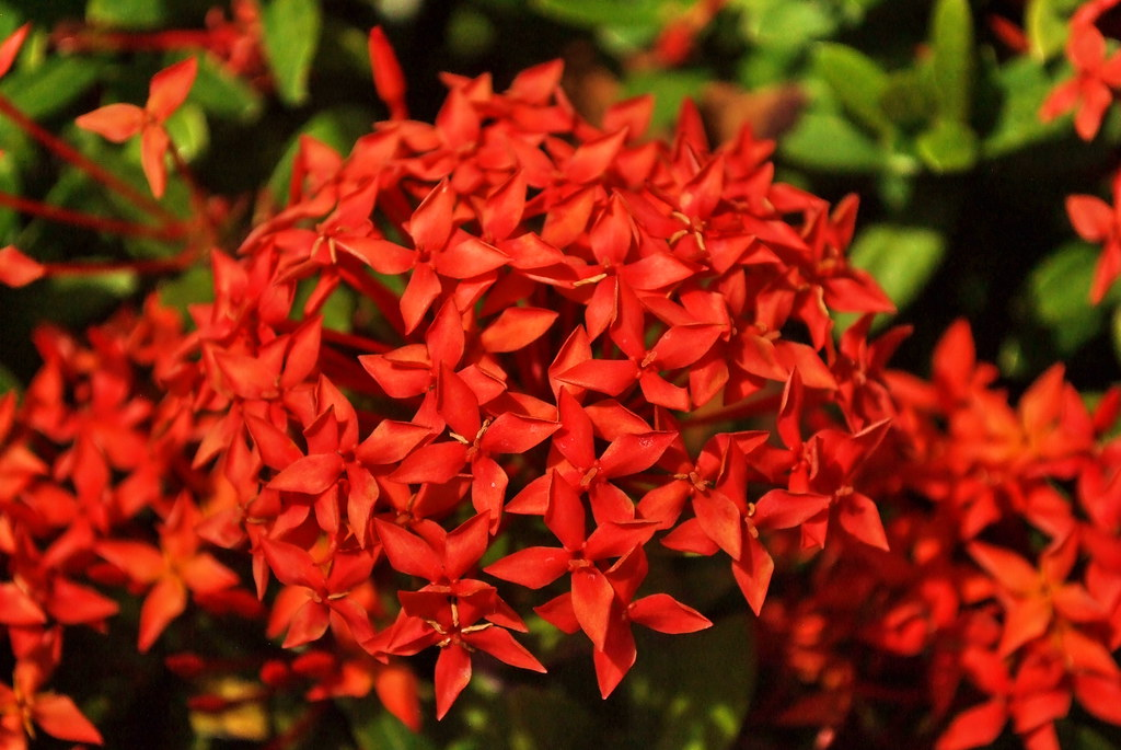 red tropical flowers  elena levkovskaya  flickr, Beautiful flower
