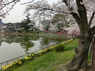 cherry blossoms at Momogaike | by jtabn99