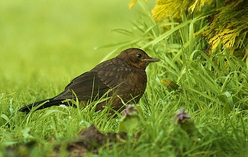Blackbird Fledgling | by Jan Sutton's Photography