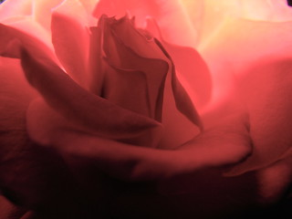 Magic rose | by Lisa_DellaDora