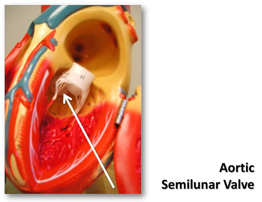 Aortic Semilunar Valve The Anatomy Of The Heart Visual A Flickr