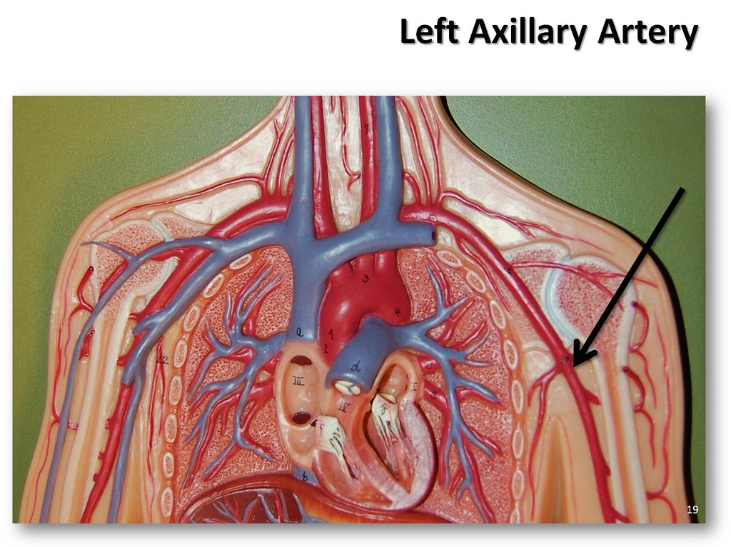 Left axillary artery - The Anatomy of the Arteries Visual … | Flickr