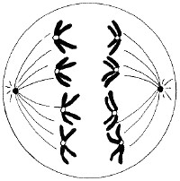 anaphase 1   Chromatids move away from each other as they ...